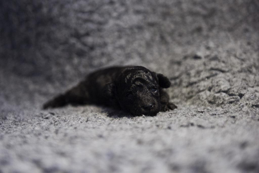 Grey boy, 2 weeks old