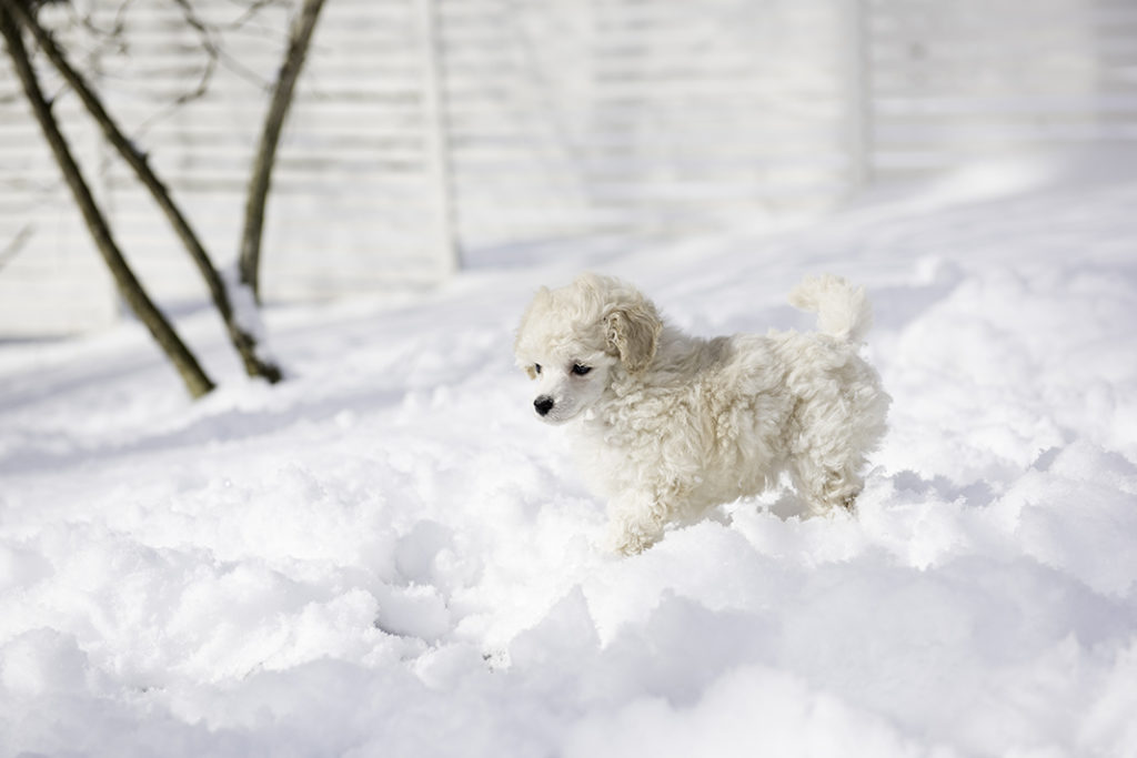 Moneypenny 7 weeks old, playing in the snow.